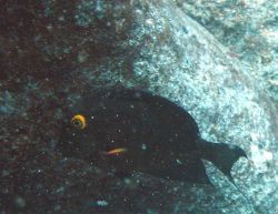 Surgeonfish (Ctenochaetus strigosus) Photo