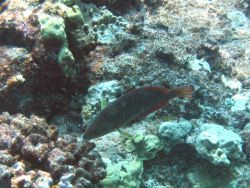 Pearl wrasse (Anampses cuvier) Photo