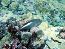 Arc-eye hawkfish (Paracirrhites arcatus) Image
