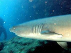 A white-tip shark (Triaenodon obesus) up close and personal Image