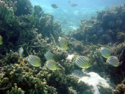 Butterfly fish (Chaetodon multicinctus) Photo
