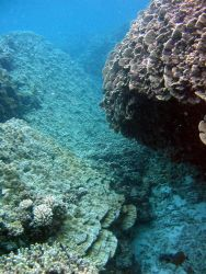 A reef scene with Pavona duerdeni on right. Image