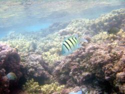 A sergeant major damselfish (Abudefduf abdominalis) Photo