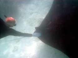 A large manta ray (Manta birostris). Photo