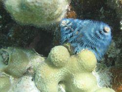 Blue sabellid worm on porites coral. Photo