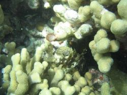 Small scorpionfish in porites coral. Photo