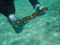 A holothurian - black-spotted sea cucumber (Holothuria sp.) Image