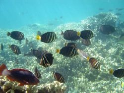 Sailfin tang surgeonfish (Zebrasoma veliferum) Photo