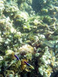 Cleaner wrasses (Labroides phthirophagus) in bottom center of reef scene. Photo
