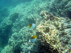 Threadfin butterfly fish (Chaetodon auriga) Photo