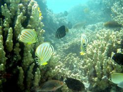 Ornate butterfly fish (Chaetodon ornatissimus). Photo