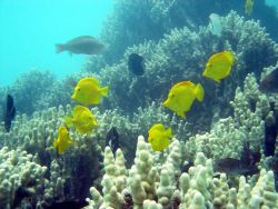 Yellow tang surgeonfish (Zebrasoma flavescens) Photo