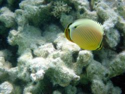 Oval butterfly fish (Chaetodon lunulatus). Photo