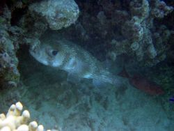 Porcupine fish (Diodon hystrix). Photo