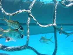 Spotfin squirrelfish (Neoniphon sammara) framed in cargo net during marine debris removal operations. Photo
