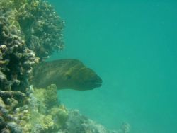 Large moray eel (Gymnothorax sp.). Photo