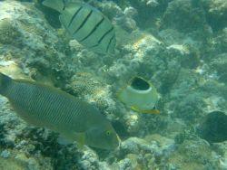 Convict tang (Acanthurus triostegus) at top, saddleback butterfly fish (Chaetodon ephippium) in middle, and old woman wrasse (Thalassoma ballieui) on  Photo