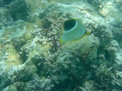 A saddleback butterfly fish (Chaetodon ephippium) in the foreground Photo