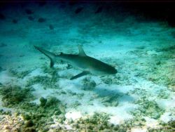 Galapagos shark (Carcharinus galapagensis). Photo