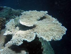 Acropora table coral (Acropora cytherea). Photo