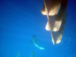 Gray reef sharks (Carcharinus amblyrhynchos) directly below the ladder to the dive boat. Photo