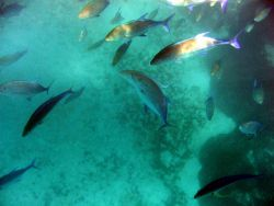 A school of omilu or bluefin trevally ( Caranx melampygus, Cuvier 1833). Photo