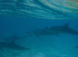 Spinner dolphins (Stenella longirostris) as seen while being towed during debris operations. Photo