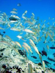 Goatfish (Mulloidichthys flavolineatus). Photo