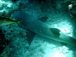 A white-tip shark (Triaenodon obesus) Photo