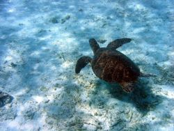 A green sea turtle (Chelonia mydas). Photo