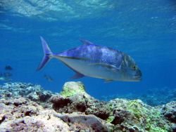 Bluefin trevally (Caranx melanpygus) Photo