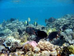 A variety of reef fish including convict tang, bullethead parrotfish, and moorish idols. Photo