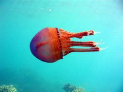 A red jellyfish. Photo