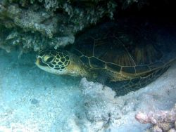 Green sea turtle (Chelonia mydas). Photo