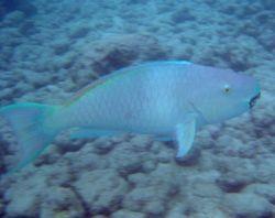 Parrotfish (Chlorurus sp.) Photo