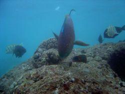 Parrotfish Photo