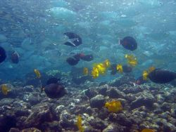 Yellow tang (Zebrasoma flavescens), black Achilles tang (Acanthurus achilles), and chub (species indeterminate) Photo