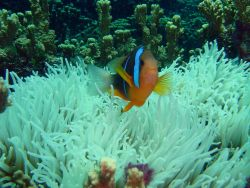 Sea anemone with orange-fin anemonefish (Amphiprion chrysopterus) Photo