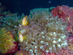 Sea anemone with two anemonefish (Amphiprion sp.) . Photo