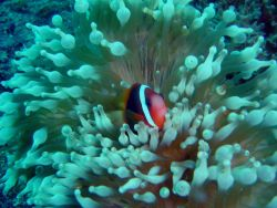 Sea anemone with dusky anemonefish (Amphiprion melanopus) Photo