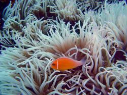 Sea anemone with pink anemonefish (Amphiprion perideraion. Photo
