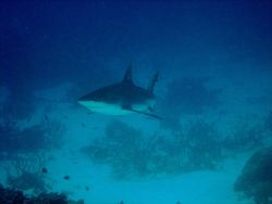Gray reef shark (Carcharhinus amblyrhynchos). Photo