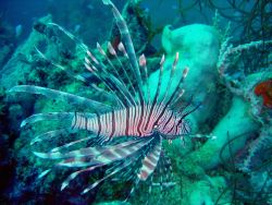 Lionfish on Fumitsuki Maru. Photo