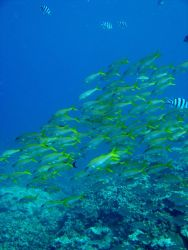 Yellowfin goatfish (Mulloidichthys vanicolensis) Photo