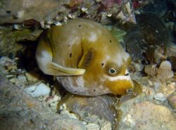 Blackspotted puffer (Arothron nigropunctatus) Photo