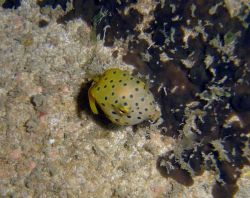 Juvenile yellow boxfish Photo