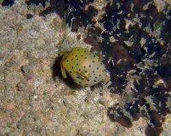 Juvenile yellow boxfish Photo