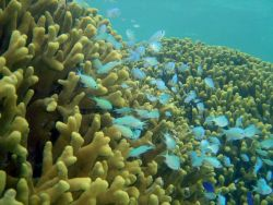 Blue-green chromis (Chromis viridis) Photo