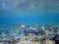 Blacktip reef shark (Carcharhinus melanopterus) Photo