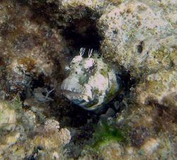 Pygmy blenny (Nannosalarias nativitatis) is found on shallow reef areas subject to moderate surge Photo